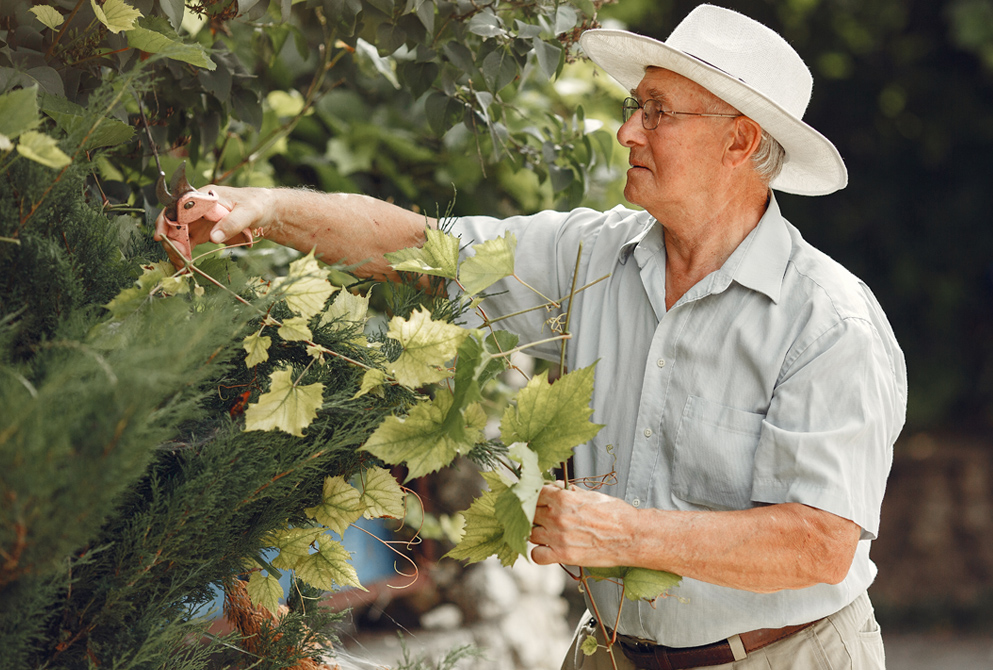 Senior man gardens and tends to large bush