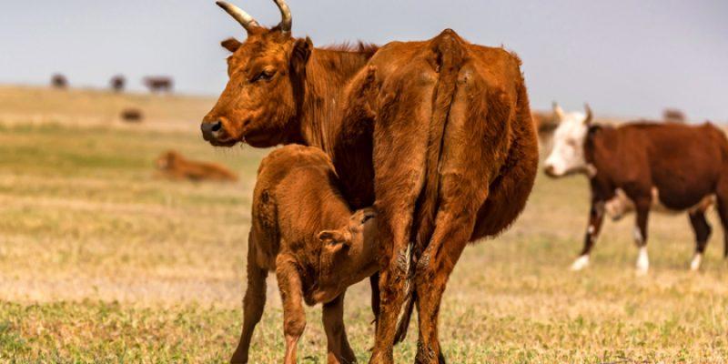 bovine-colostrum
